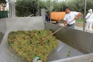 Vendemmia at the Ulmo winery, Planeta