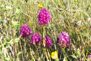 Pyramid Orchids